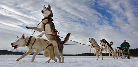 Husky Dogs | Husky Dog Sledding | Day Activities | Weekend In Riga